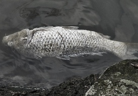 Dead Carp, Creative Commons, 2013